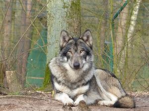 Einladung zur Ausfahrt in das Wolfcenter Dörverden